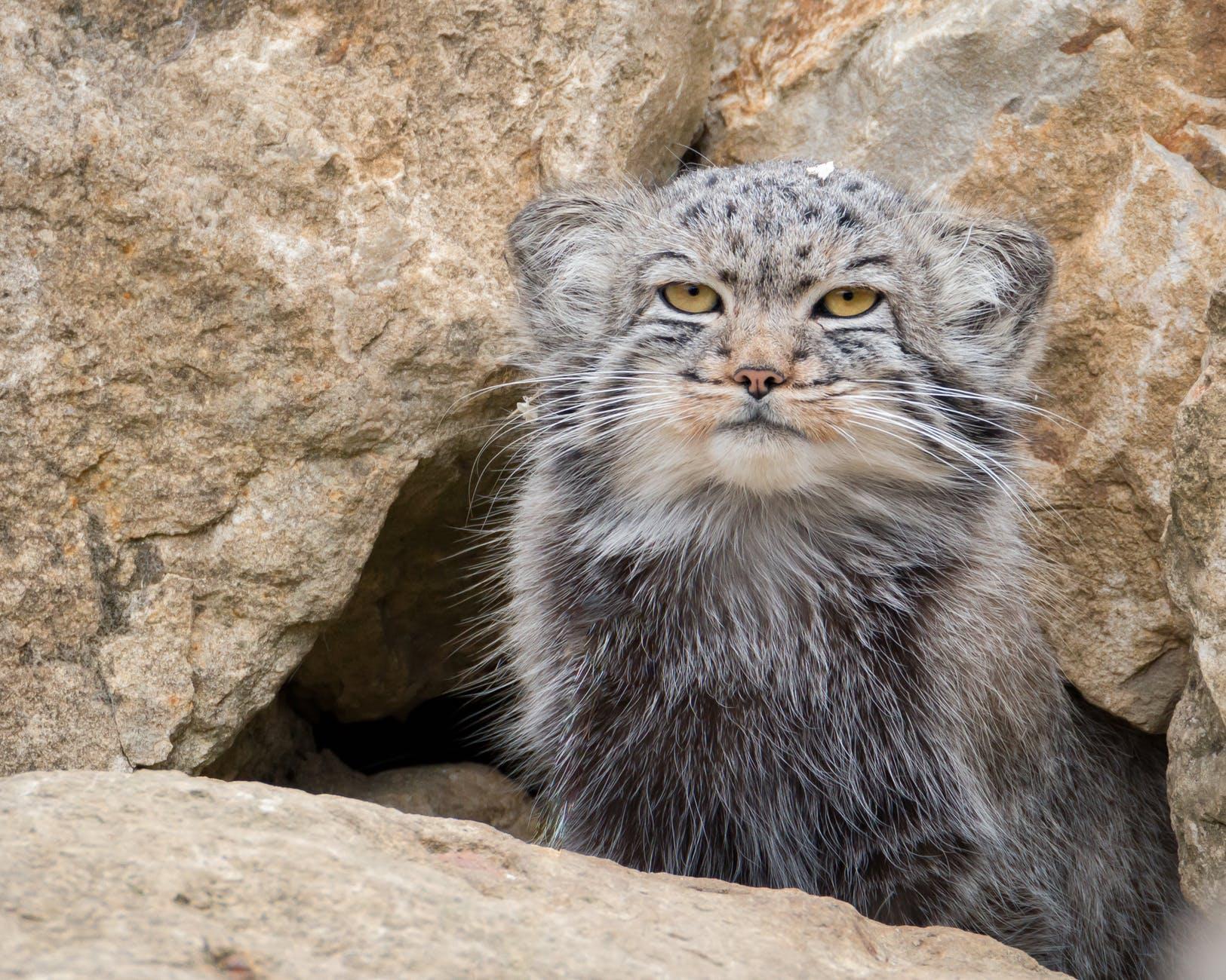 photo of a pallas s cat